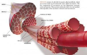 Przekrój mięśnia